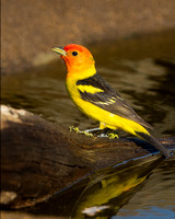 Tanager_W_C8A3673