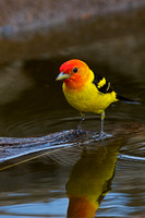 Tanager_W_C8A4802