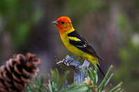 Tanager_W_C8A6152