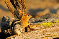 Squirrel_GMG_45T5296