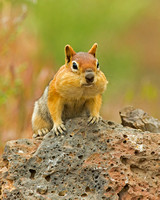 Squirrel_GMG_45T7293