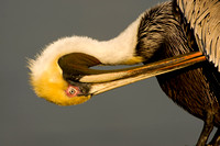 Pelican_Brown_D4B7338