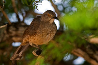 Curve-billed Thrasher, Toxostoma curvirostre,
