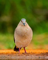 Dove, White-tipped