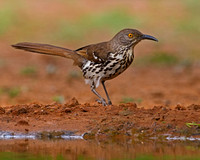 "Long-billed Thrasher, ""Toxostoma longirostre"""