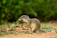 """Ictidomys mexicanus"", ""Mexican ground Squirrel,""Santa Clara Ranch"","