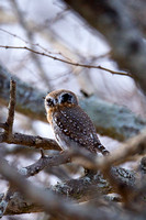 Owlet, Pearl-spotted