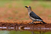 "Golden-fronted Woodpecker, ""Melanerpes aurifrons"","