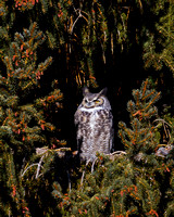 """Great Horned Owl"",""Bubo virginianus"""
