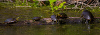 Western Painted Turtles, Chrysemys picta bellii,