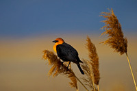 Yellow-headed Blackbird,Xanthocephalus xanthocephalus