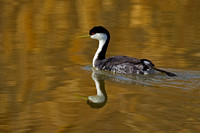 Western Grebe, Aechmophorus occidentalis