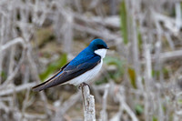 Tree Swallow, Tachycineta bicolor,