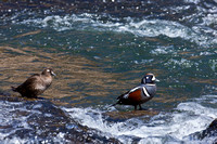 """Duck Harlequin"", ""Histrionicus histrionicus"", Wyoming, ""Yellowstone National Park"""