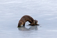 """Grand Teton National Park"", ""Lontra canadensis"", Otter, River, Wyoming"