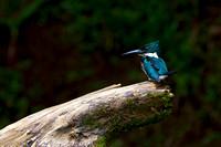 Kingfisher_Am_MG_2438