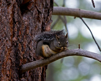 Western Gray Squirrel, Sciurus griseus