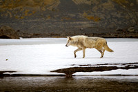 """Canis lupus"", Wolf, Wyoming, ""Yellowstone National Park"""