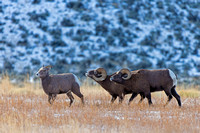"""Bighorn Sheep"", Ewe, ""Ovis canadensis"", Ram, ""Shoshone National Forest"", Wyoming"