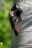 """Colaptes auratus"", ""Flicker Northern"", Wyoming, ""Yellowstone National Park"""