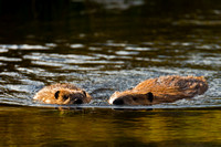 "Beaver, ""Castor canadensis"", ""Grand Teton National Park"", Wyoming"