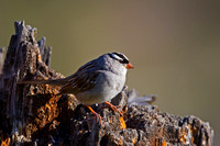 """Sparrow White-crowned"", Wyoming, ""Yellowstone National Park"", ""Zonotrichia leucophrys"""
