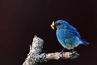 """Bluebird Mountain"", Male, ""Sialia currucoides"", ""Wapiti Valley"", Wyoming"