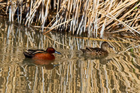 """Anas cyanoptera"", ""Bear River Bird Refuge"", ""Teal Cinnamon"", Utah"
