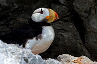 Puffin, Horned