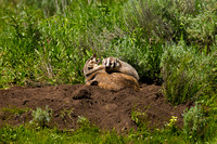 "Badger, Kit, ""Taxidea taxus"", Wyoming, ""Yellowstone National Park"""