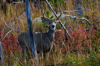 "Buck, Deer, Mule, ""Odocoileus hemionus"", Velvet, Wyoming, ""Yellowstone National Park"""