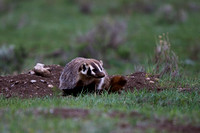 "Badger, ""Taxidea taxus"", Wyoming, ""Yellowstone National Park"""