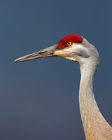 """Crane Sandhill"", ""Grus canadensis"", Wyoming, ""Yellowstone National Park"""