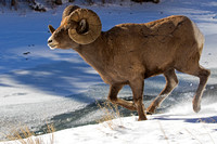 """Bighorn Sheep"", ""Ovis canadensis"", Ram, ""Shoshone National Forest"", Wyoming"