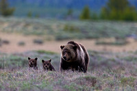 "Bear, Grizzly, ""Swan Lake Ftats"", ""Ursus arctos horribilis"", Wyoming, ""Yellowstone National Park"""