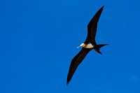 """Darwin Bay"", Ecuador, ""Fregata minor"", ""Frigatebird, Great"", ""Galápagos Islands"", ""Genovesa Island"""