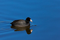 """Bosque del Apache National Wildlife Refuge"", Coot, ""Fulica americana"", ""New Mexico"""