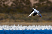"""Bosque del Apache National Wildlife Refuge"", ""Chen caerulescens"", ""Goose Snow"", ""New Mexico"""