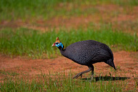 "Guineafowl, Helmeted, Kenya, ""Numida meleagris"", ""Samburu National Reserve"""