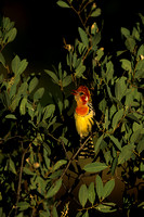 Barbet, Red-and-yellow