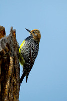 Sapsucker_Will_Z2F1440