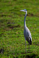 """Ardea melanocephala"", Black-headed, Heron, Kenya, ""Masai Mara National Reserve"""