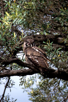 Eagle-owl, Verreaux's