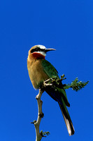 Bee-eater_WF_SCN001