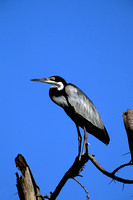 Heron, Black-headed