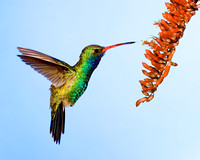 Hummingbird_Broad-billed_MR8D4750 copy