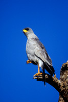 Goshawk, Eastern Pale Chanting