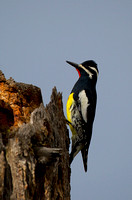 Sapsucker_Will_Z2F1455