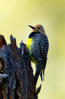 Sapsucker_Will_MG_5165