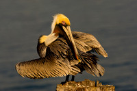 Pelican_Brown_D4B7306